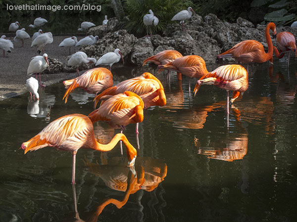 Colorful flamingos and tropical white birds at a water hole