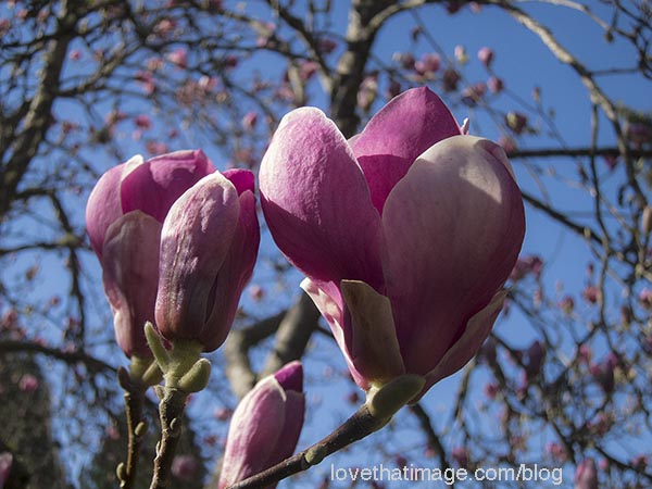 Pink and white Japanese magnolia against a blue sky