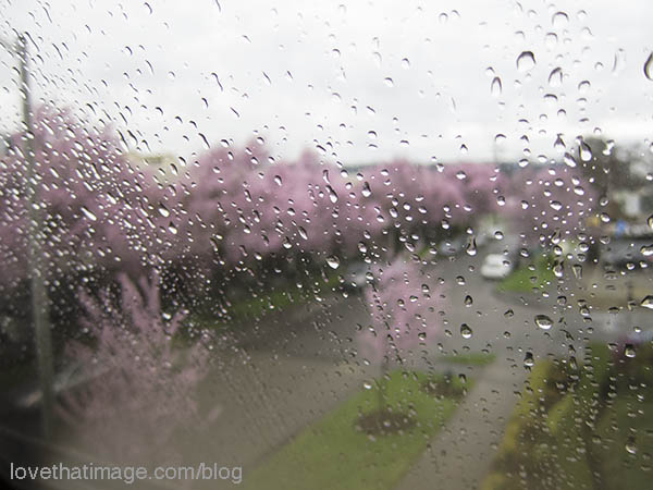 Pink trees line the streets, seen from the Seattle Design Center on a rainy day