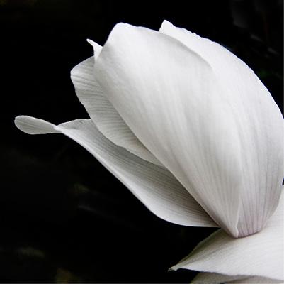 White florist Cyclamen has graceful shapes, against a black background