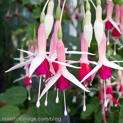 'Mrs. Lovell Swisher' fuschia flowers