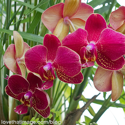 Red orchids with yellow edges and spots at the Volunteer Park Conservatory