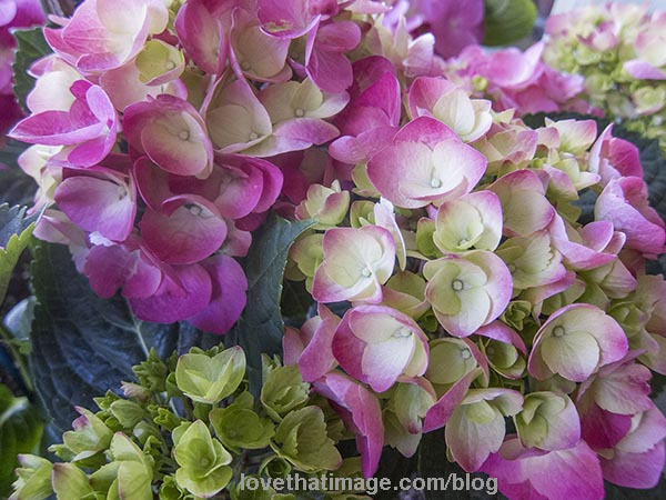 Pink and white, and green hydrangeas are so beautiful for spring gifts