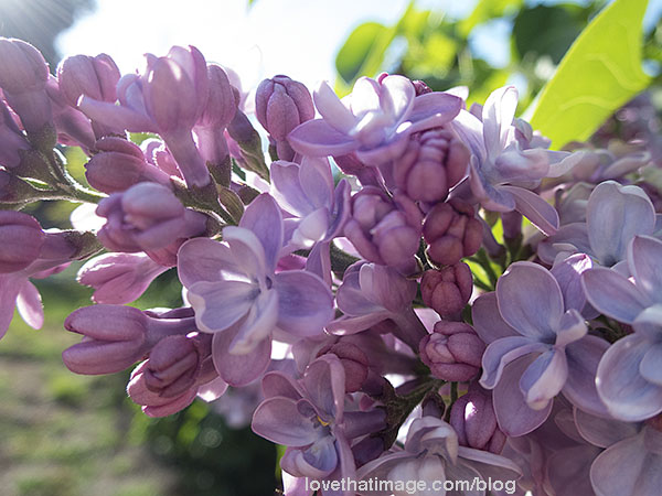 Close up of lilac panicle with double flowers