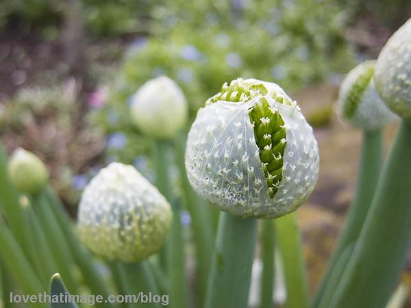 Scallion flowers begin to bloom in my garden