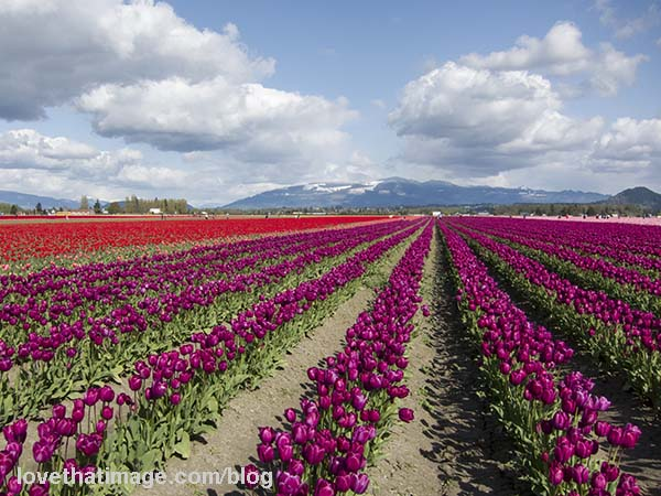 Rows of tulips converge at a point on the horizon
