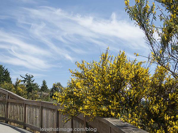 Yellow Scotch broom plant at Richmond Beach Park, WA