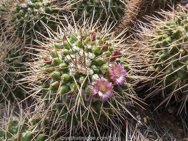 Teensy pink cactus flowers nestle among the spikes