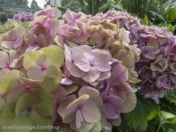 Delicate tones of pink and green in these hydrangea flowers at the Conservatory