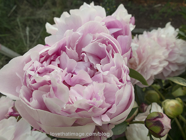 Lush pink peonies blooming in the garden