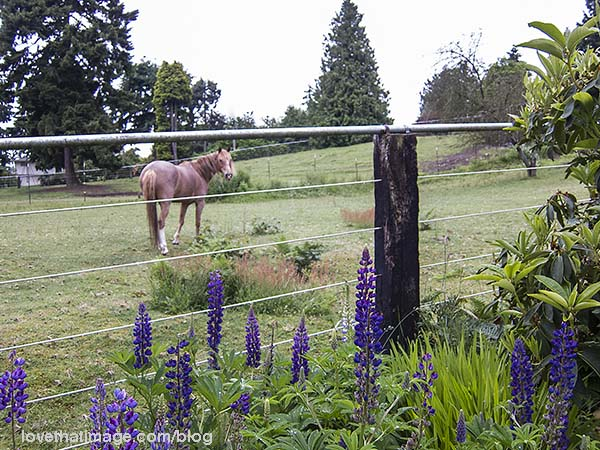 Purple lupines and a recovered wild mustang horse named Tawny
