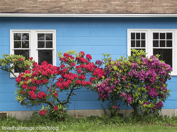 Sky blue house with red and purple rhododendrons