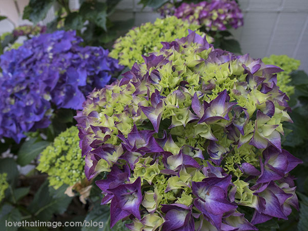 Different colors of hydrangeas blooming in the shade