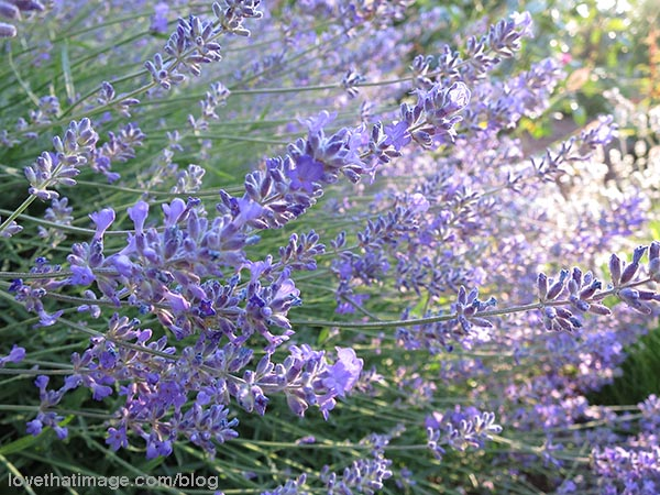 Magical lavender in the sunlight