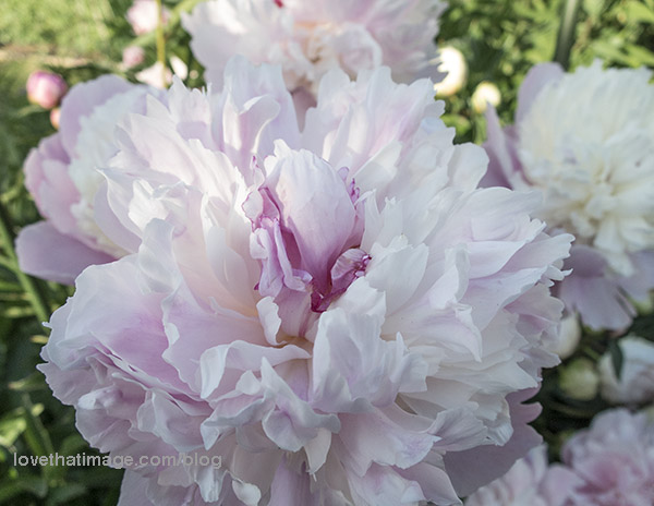 Delicate pink and white peonies, with a dash of red, in my garden