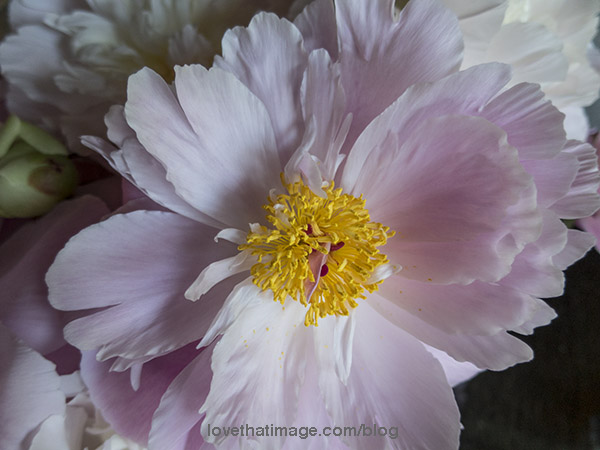 Pink peony with bright yellow center