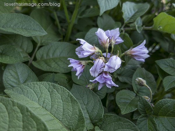 Lavender potato flowers from red potatoes