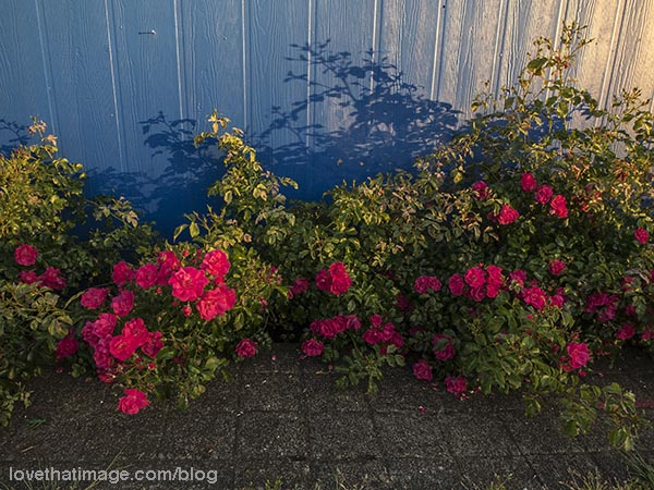 Red roses cast shadows on a blue fence in the last rays of sun