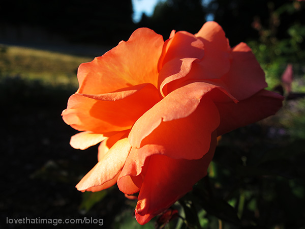 Glowing orange rose in the late afternoon sunshine