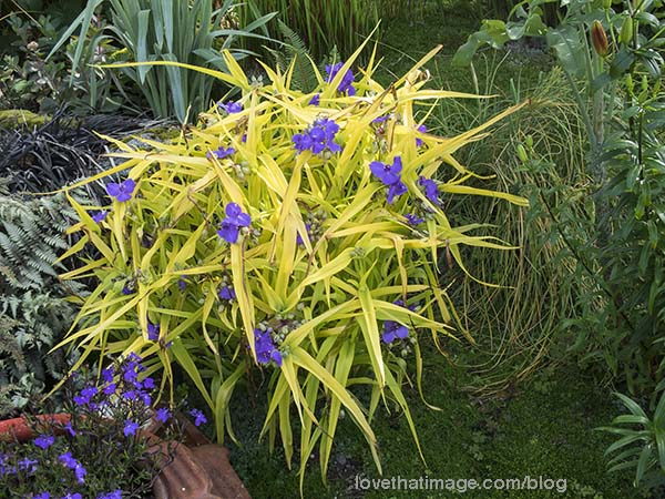 Yellow tradescantia with its purple flowers. What a combo!