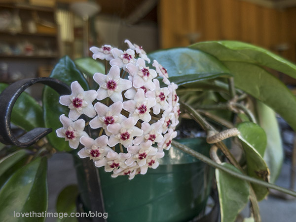 Pale pink and red waxy flowers of the hoya carnosa plant