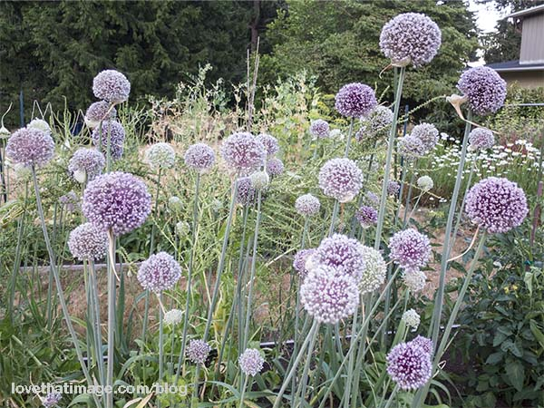 Spheres of leek flowers, in the garden