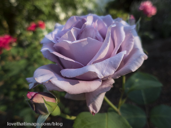 Lavender rose in the garden