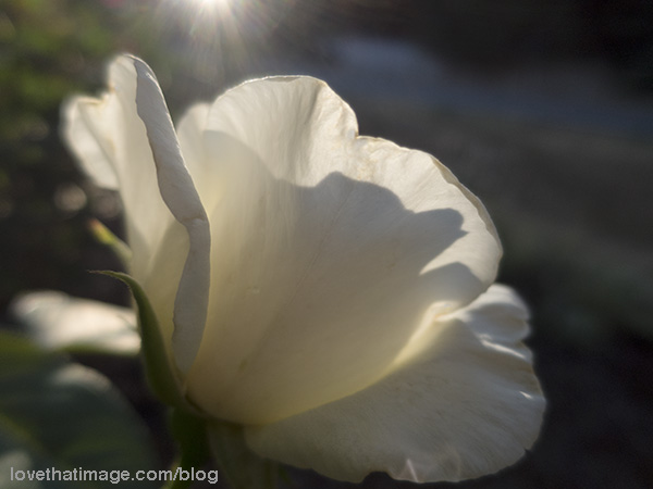 Sun and shadow on a blossom of the white Honor rose