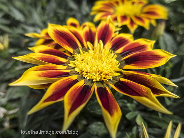 Starry pointy yellow and red petals on a gazania flower