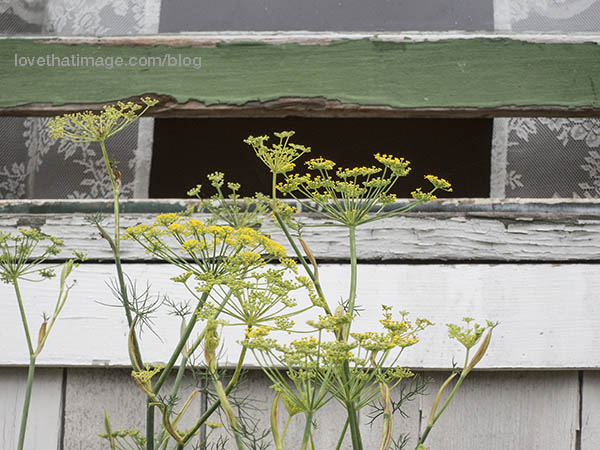 Herb flowers outside an old window with lace curtains