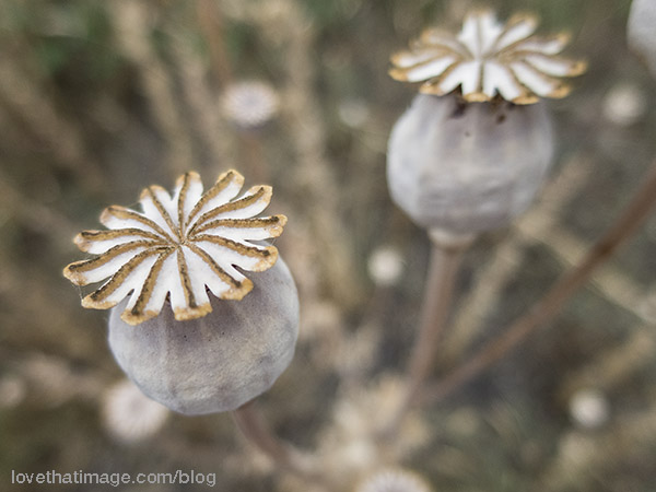 Dried seed heads of the poppy plant in the garden