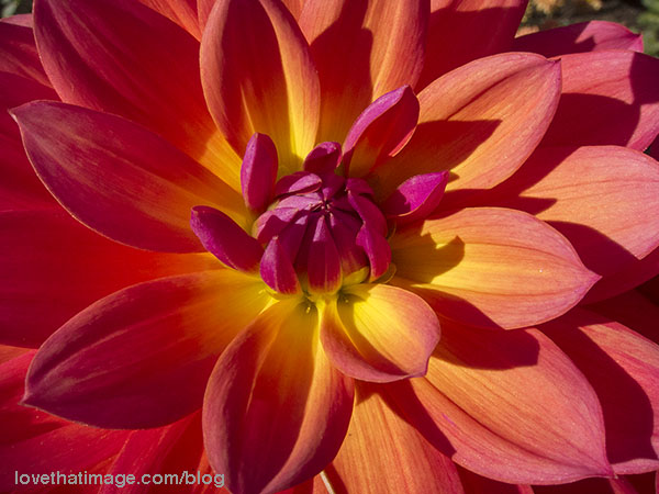 Magenta, yellow, orange and red dahlia in sunshine