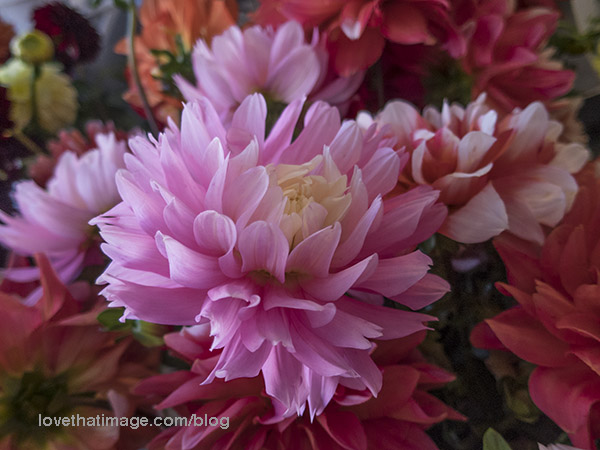 Pink, red and other colors of dahlias at the Pike Place Market in Seattle