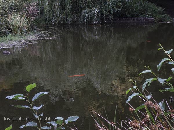 Large orange koi in pond at Kubota Garden in Seattle