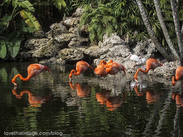 Deep orange flamingos feed while standing in water, at Flamingo Gardens in Florida
