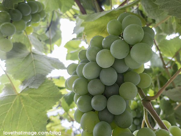 Bunches of green grapes hanging on the vine, soaking up the sun