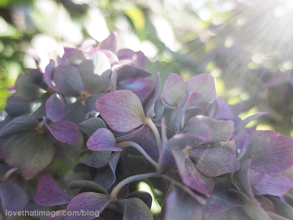 Purple and blue tones in hydrangea petals in early fall