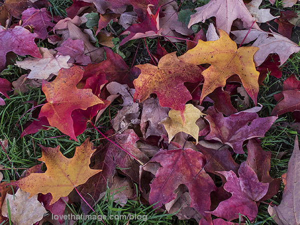 Red, yellow, orange and pink maple leaves on the green lawn of early fall