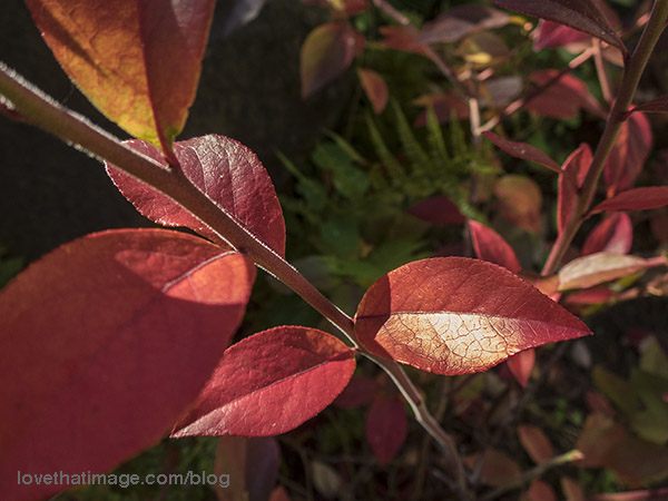 Blueberry bushes with red autumn leaves, and ferns in the background