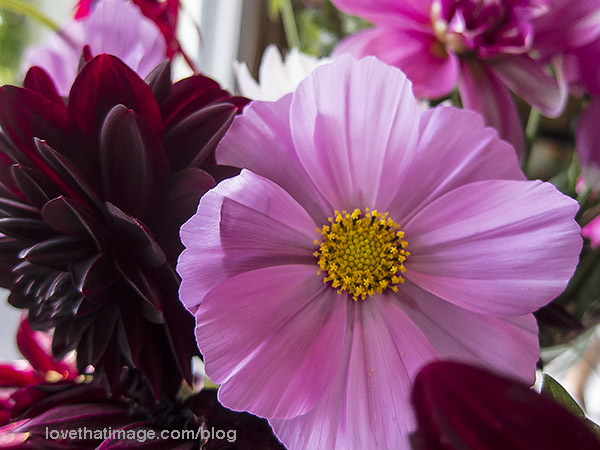 Pink cosmos and dahlias, and super dark dahlias, in a bouquet