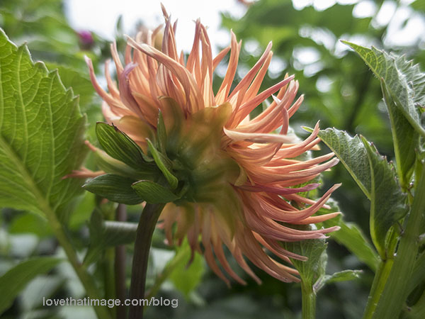 Cactus-type peachy-orange dahlia from the back, in the garden
