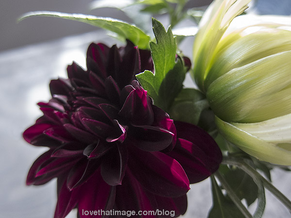Very dark burgundy dahlia and pale one in a small bouquet