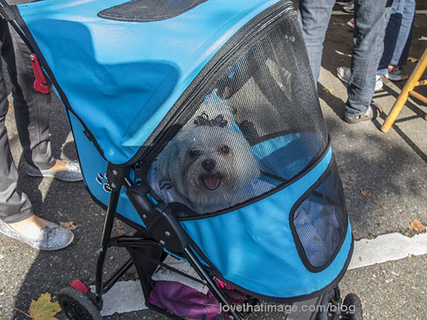 Smiling white dog with hairbow in stroller at Salmon Days in Issaquah, WA.