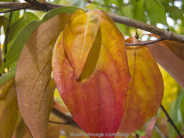 Curved lines of Korean dogwood leaves starting to turn color, up close