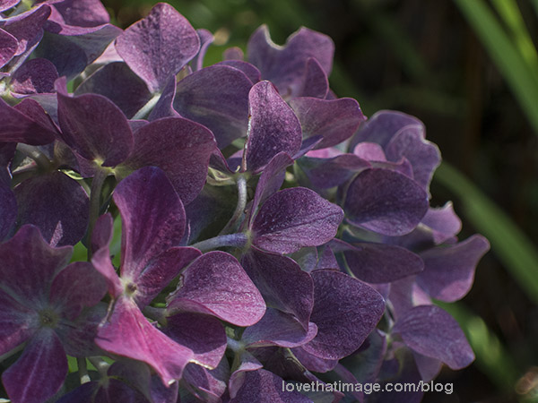 Purple hydrangeas in the fall garden