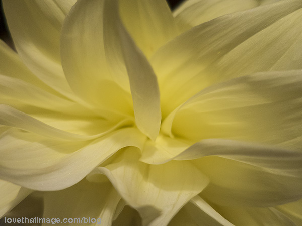 Curving petals of a yellow dahlia flower