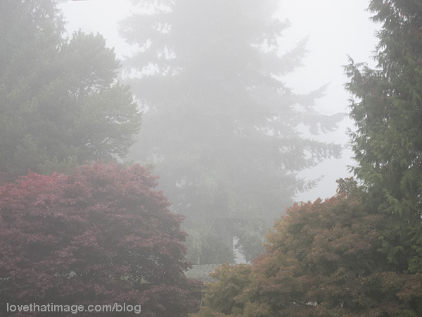 Red leaves and evergreens in November fog in the Seattle area