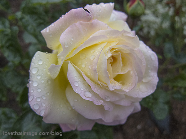 Full blown Peace rose, with raindrops