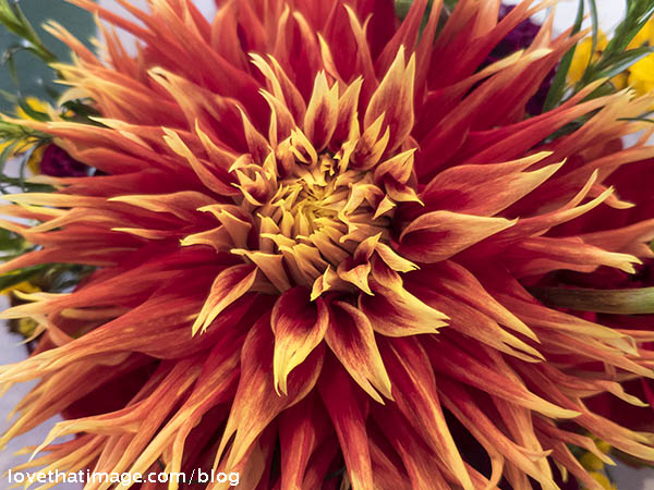 Dahlia with pointy petals, red to orange with yellow tips.