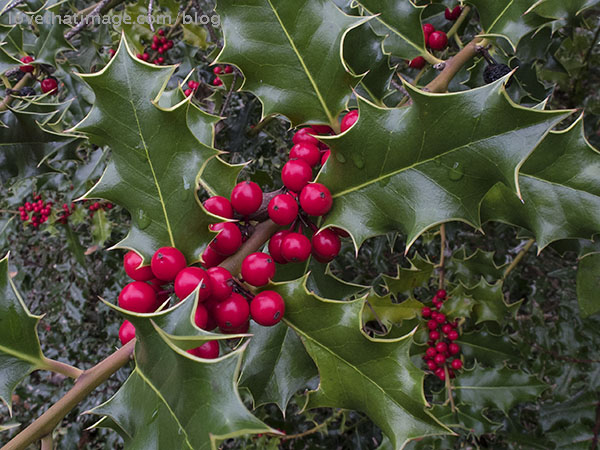 Holly with red berries growing